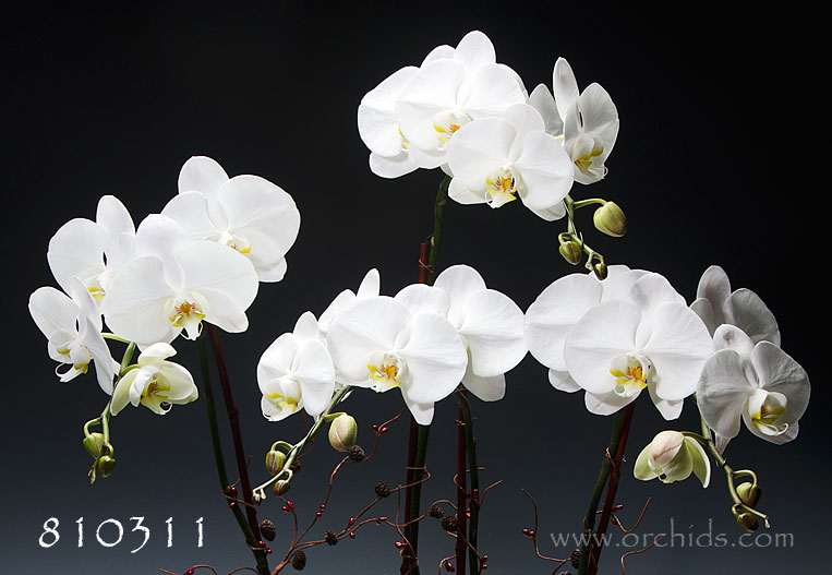 Join the Orchid Club » Great Gifts under $50 »
