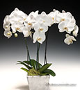 White Butterfly Orchid 2 Spikes in Decorative Basket