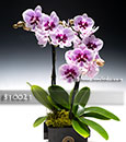Premium Holiday Romance Orchid in Euro Cachepot