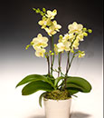 Key Lime Phalaenopsis Combo in Deco Pot
