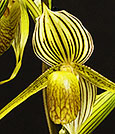 Flying Eagles Slipper Orchid
