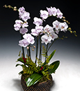 Double Delight Phalaenopsis Combo