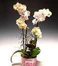 Diamond Phalaenopsis in Cachepot