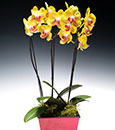 Key Lime Butterfly Orchid in Euro Cachepot
