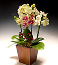 Premium Canary Phalaenopsis in Classic Cachepot