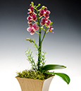 Caribbean Sunset Phalaenopsis in Asian Basket
