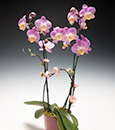 Cutting-Edge Phalaenopsis in Bamboo Cachepot