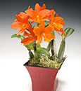 Brilliance of Summer Cattleya in Classic Wood Cont