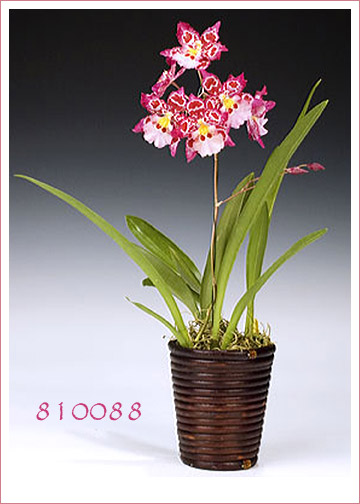 Strawberry Delight Orchid Gift