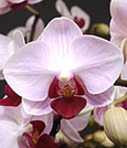 The Sweetest of Sweetheart Phalaenopsis Combo