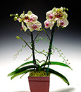 Golden Harlequin Butterfly Orchid  with Berries in Deco Container