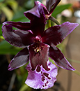Premium Carnival Combo Butterfly Orchid in Deco Container