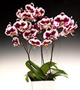 Cuddly Double Panda Orchid Combo