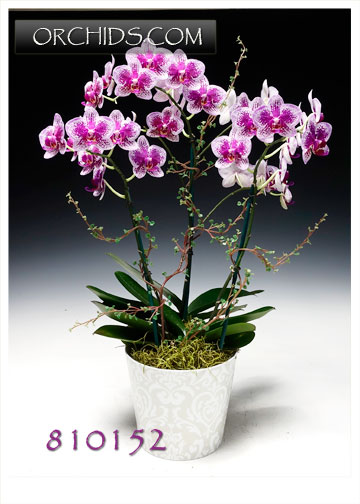 Pink Harlequin Butterfly Orchid Combo