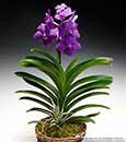 Regal Blue Vanda in Woven Cachepot