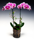 Confetti Butterfly Orchid in Modern Pot