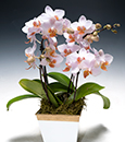 Striking Phalaenopsis Jewels in Deco Container