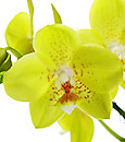 Fancy Canary Phalaenopsis in Deco Container