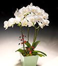 "Premium ""Fancy  Pearl "" Butterfly Orchid  Deco Pot"