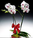 'Hugs 'n Kisses' Butterfly Orchid Combo