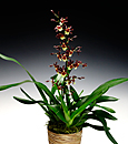 Choice Wildcat Orchid in Deco Container