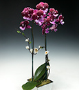 Premium Butterfly Orchid in Deco Cachepot