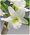 Adorable Fragrant White Angel Dendrobium