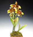Sparks of Gold Oncidium Orchid Gift