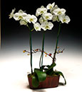 Premium Key Lime Butterfly Orchid