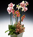 Ultimate Coral Seas Orchid Combo in Woven Container