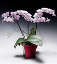 Love's Promise Phalaenopsis in Modern Cachepot (Online orders only!)