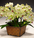 Key Lime Pie Phalaenopsis  in Deco Cachepot