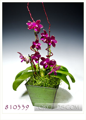 Fragrant  Chardonnay Phalaenopsis in Deco Pot