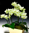 Premium Gold Nugget Combo Orchid in Basket