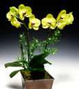 Canary Yellow Panda Phalaenopsis