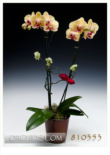 Premium Glowing Papaya Butterfly Orchid