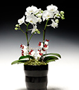 White Angel Butterfly Orchid Combo