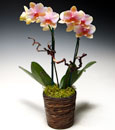 Peach Cobbler Phalaenopsis in Deco Container