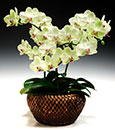 Premium Key Lime Butterfly Orchid Combo