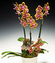 Orange Festivity Phalaenopsis in Modern Cachepot