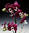 Chocolate Drop Phalaenopsis in Cachepot