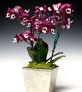 Chocolate Drop Phalaenopsis Combo in Cachepot