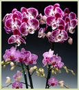 Glowing with Love Phalaenopsis Combo