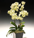 Fresh and Creamy Key LIme Orchid Arrangement