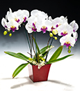 Hot Lips Phalaenopsis Arrangement