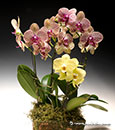 Orchid Celebration in Deco Container