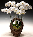 Purely Blessed Phalaenopsis in Basket