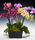Rainbow Phalaenopsis in Deco Container