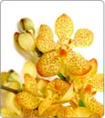 Gold Mokara Orchid:  5 cut Flower Spikes