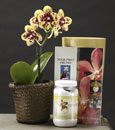 Phalaenopsis Beginners Package